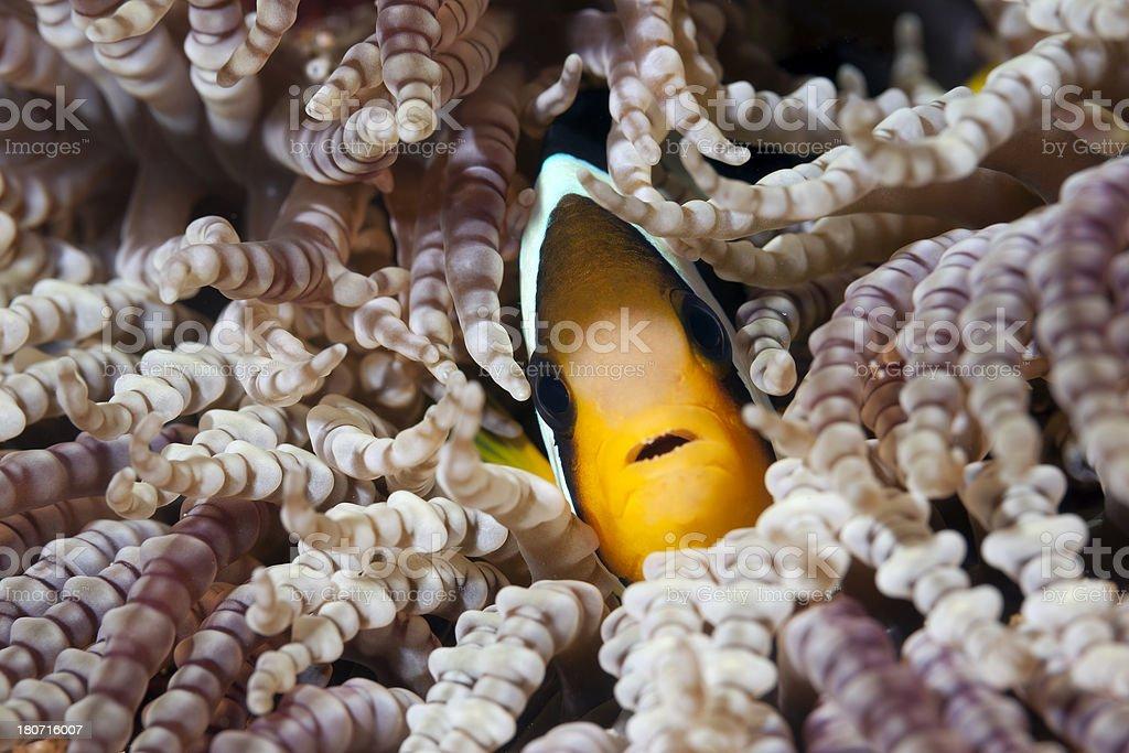 Anemone fish royalty-free stock photo