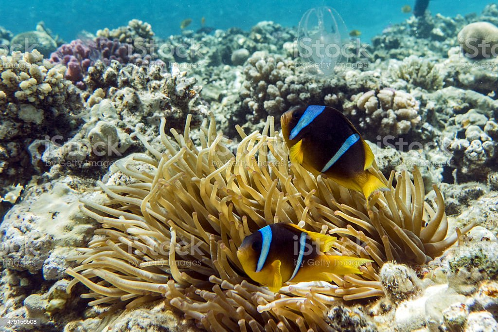 Anemone fish (Amphiprion bicinctus) )with small baby stock photo