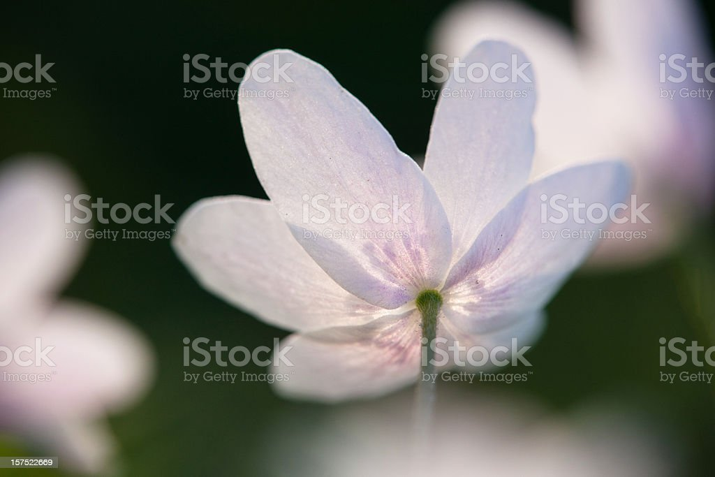 anemone flower head royalty-free stock photo