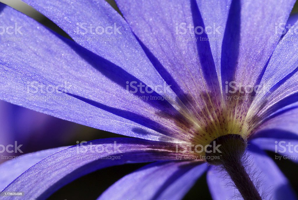 Anemone flower in the counther-light royalty-free stock photo