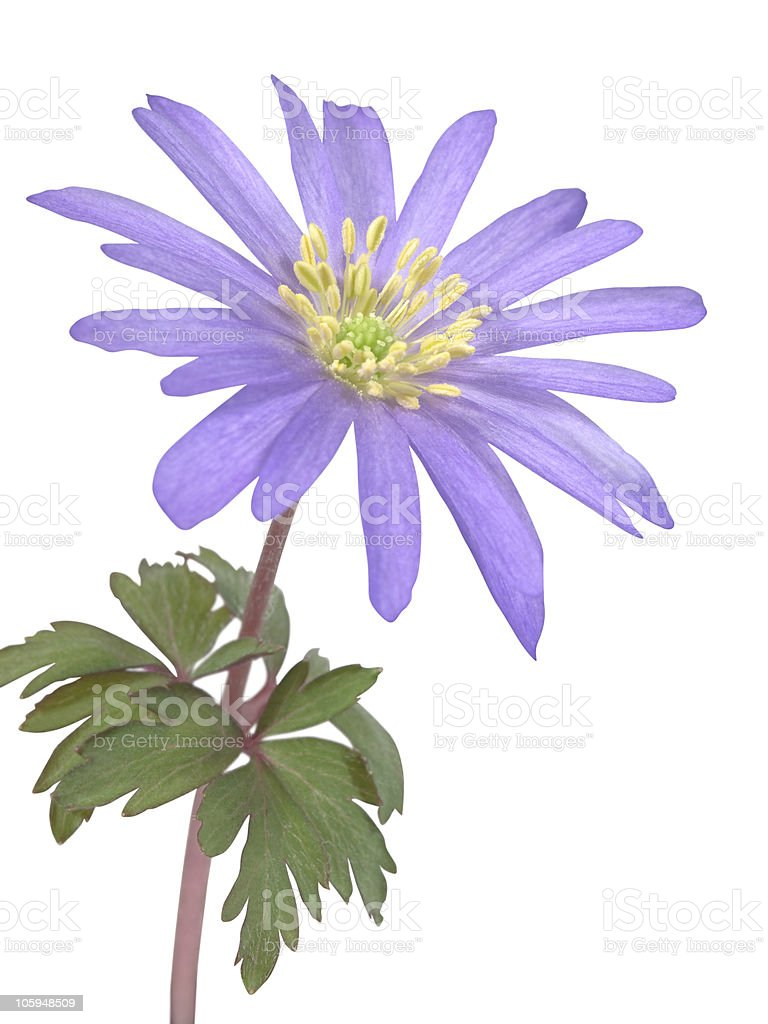 Anemone flower royalty-free stock photo