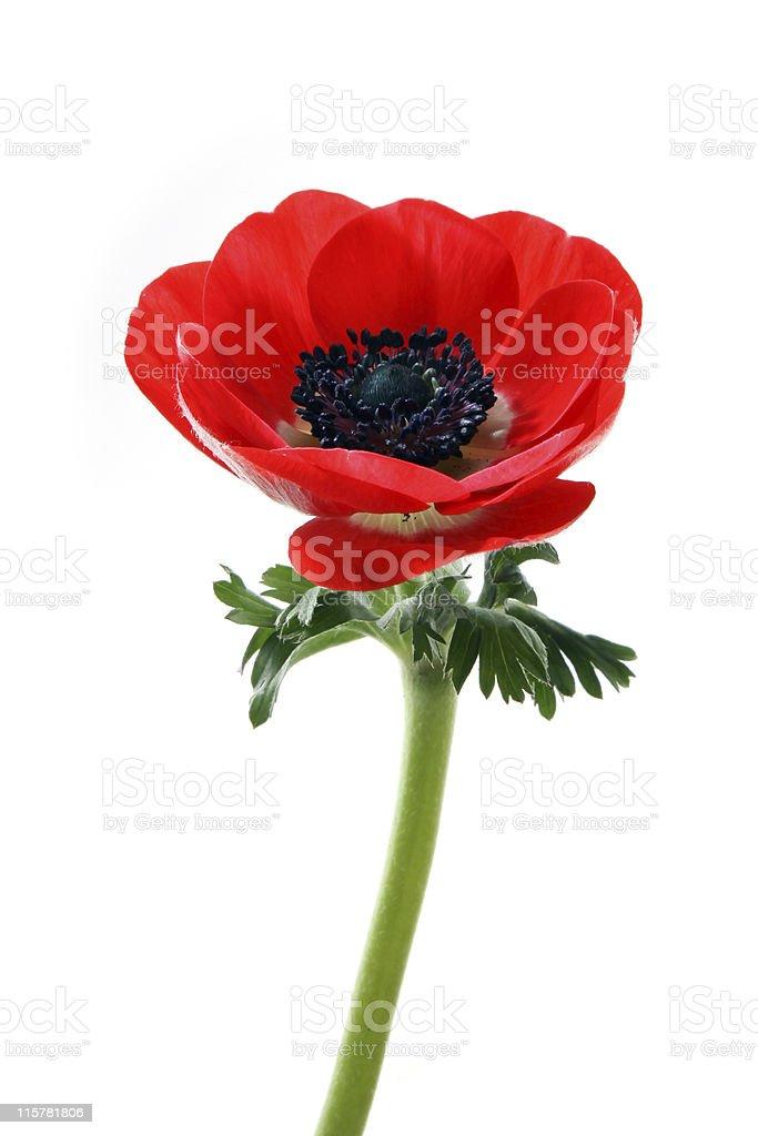 Anemone flower royalty-free stock photo
