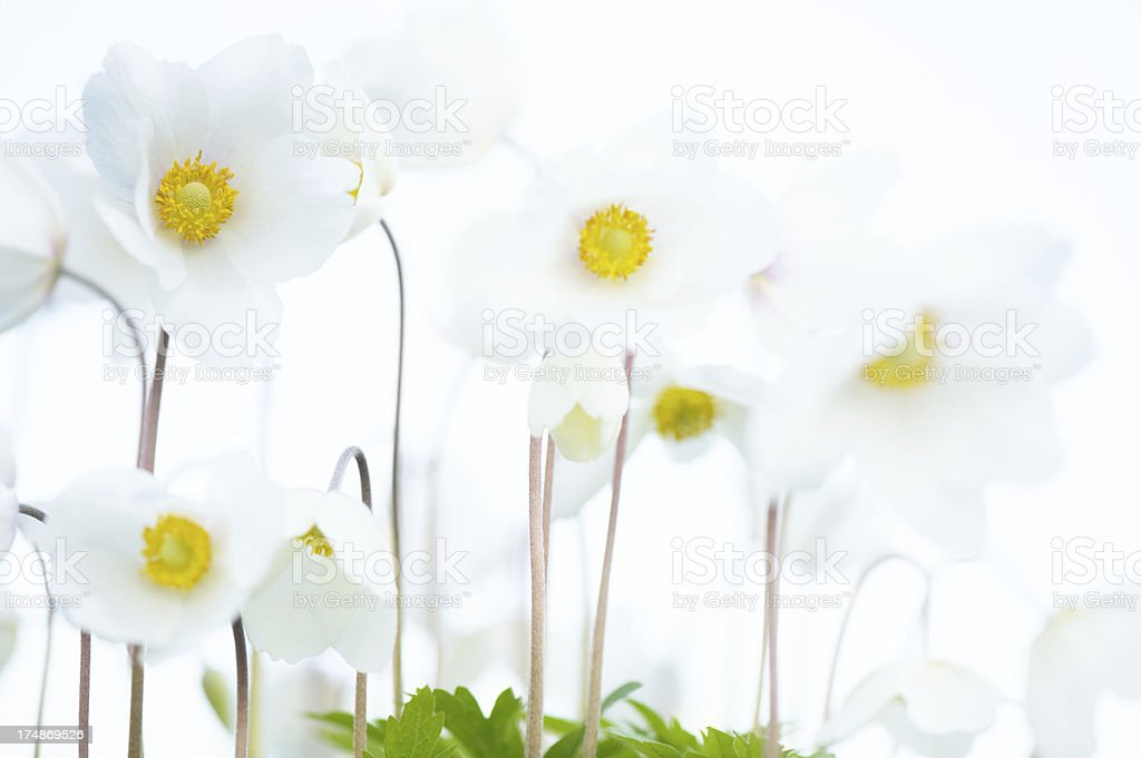 Anemone flowers royalty-free stock photo