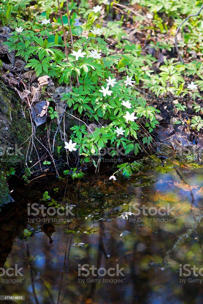 anemone flowers royalty-free stock photo