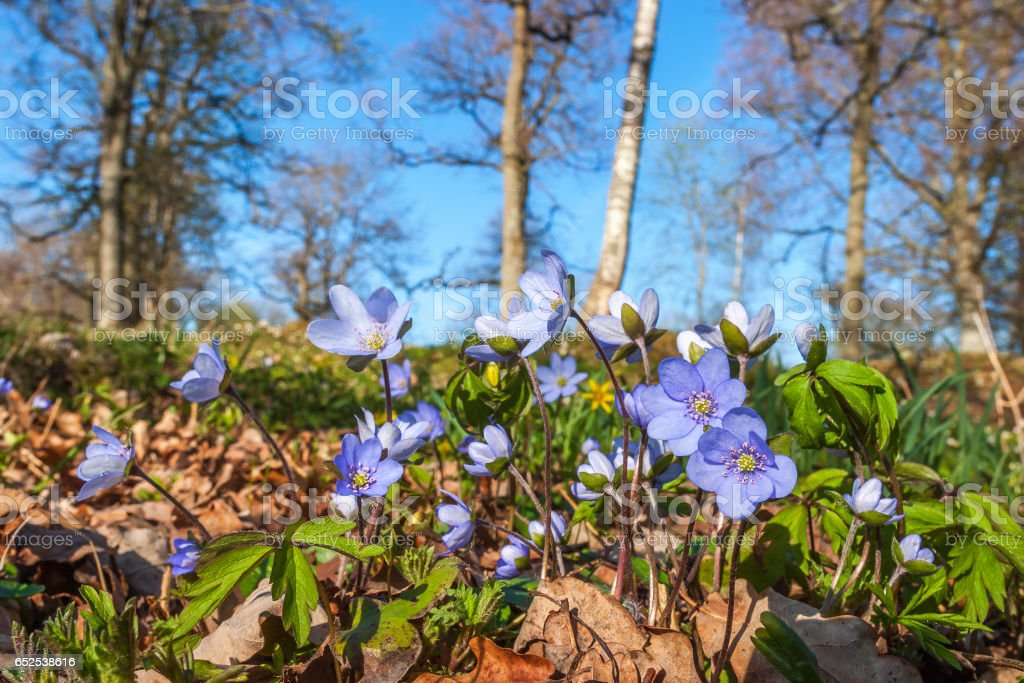 Anemone hepatica flowers in a meadow in spring stock photo