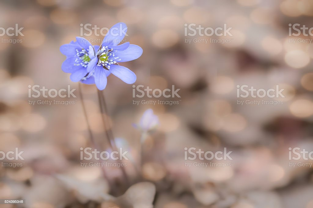 Anemone hepatica stock photo
