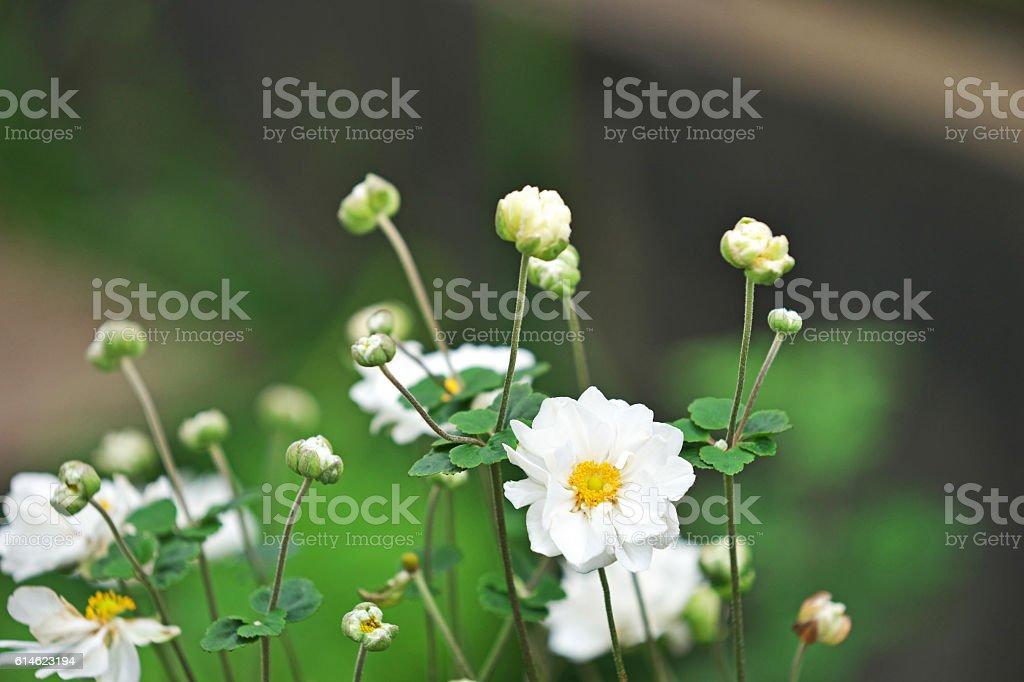 Anemone hupehensis stock photo