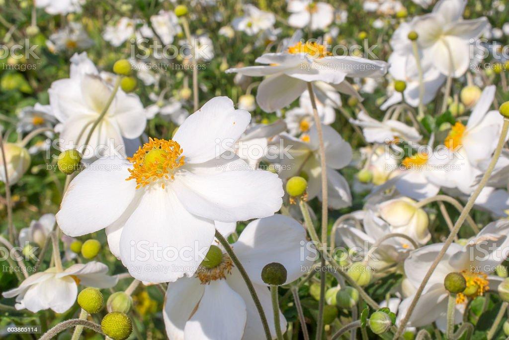 Anemone hybrida honorine jobert flowers. stock photo