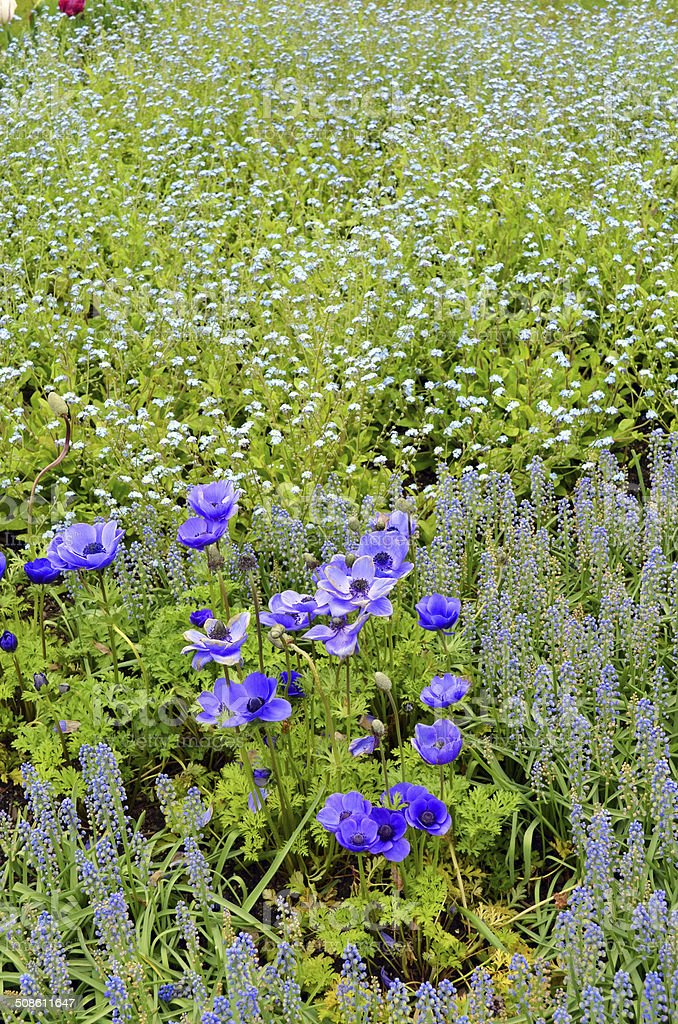 Anemone in the Field stock photo