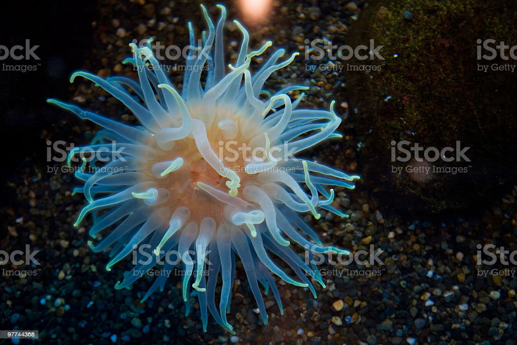 Anemone in tide pool royalty-free stock photo