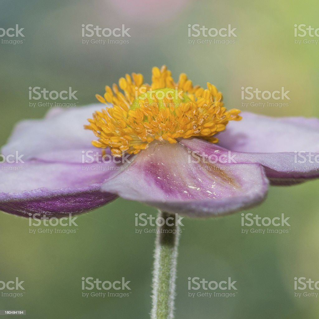 Anemone Investigation royalty-free stock photo
