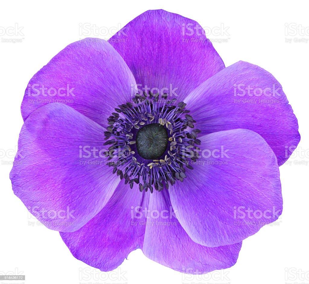 Anemone isolated on white background stock photo