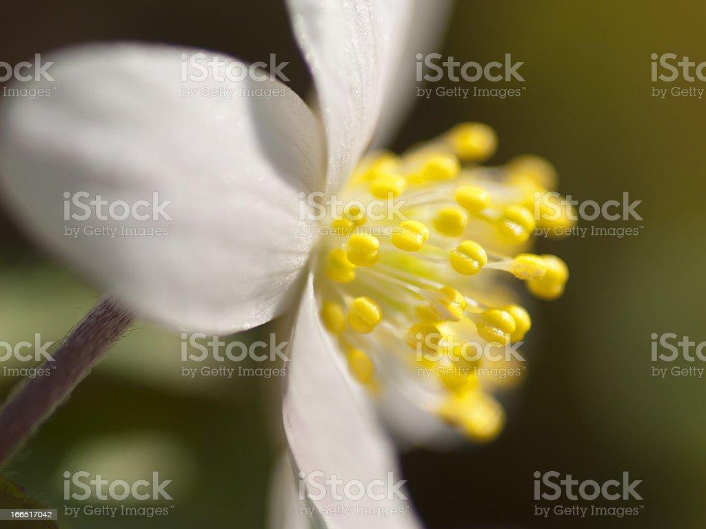 Anemone nemorosa in flower royalty-free stock photo
