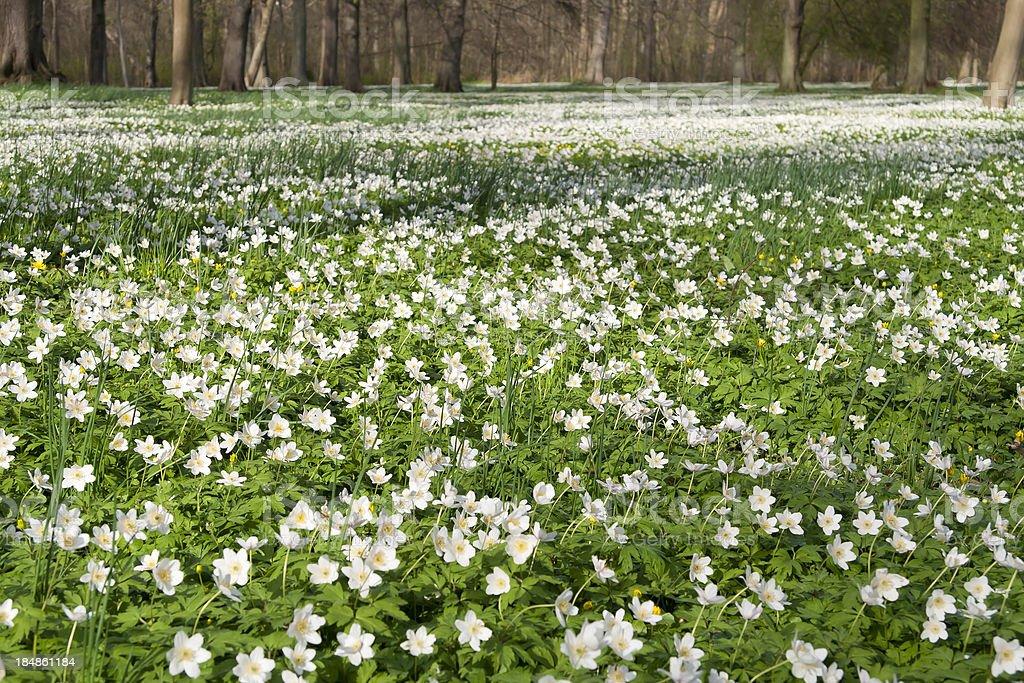 Anemone nemorosa in the Park royalty-free stock photo