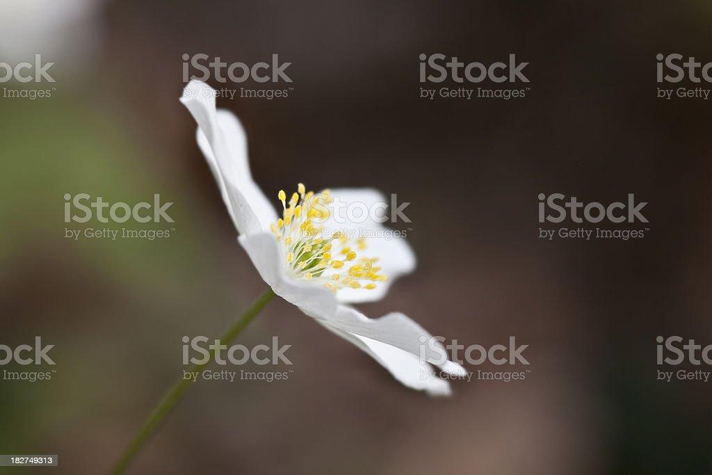 Anemone nemorosa royalty-free stock photo