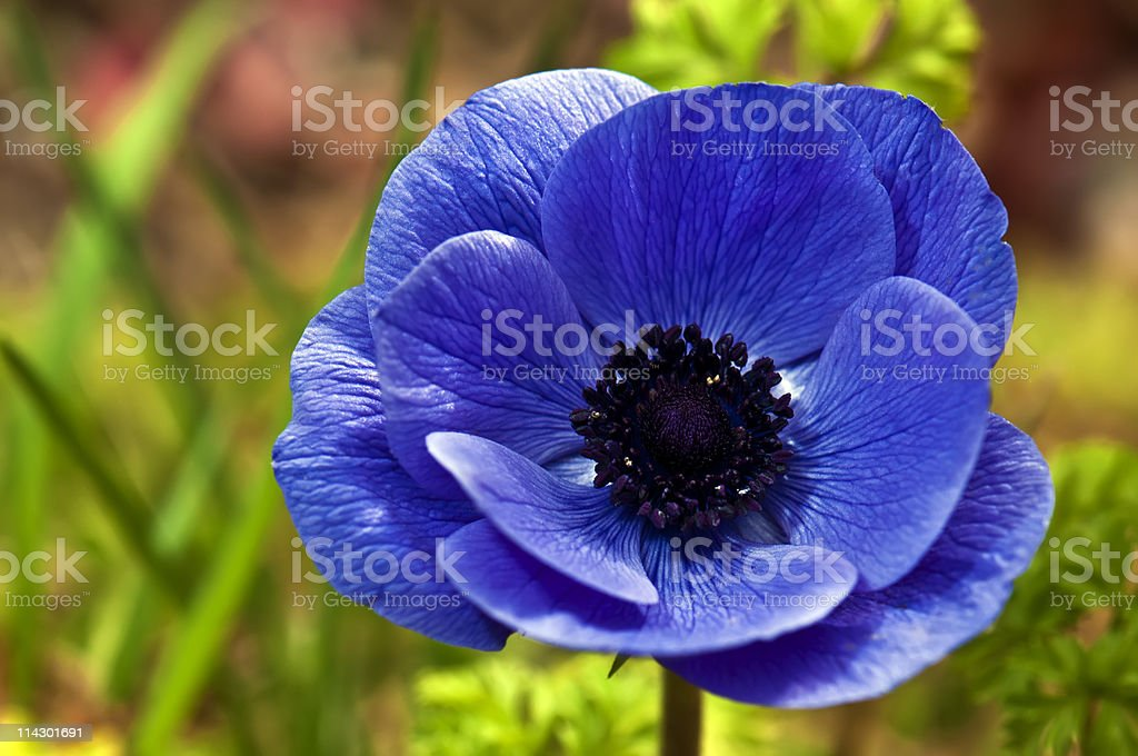 Anemone royalty-free stock photo