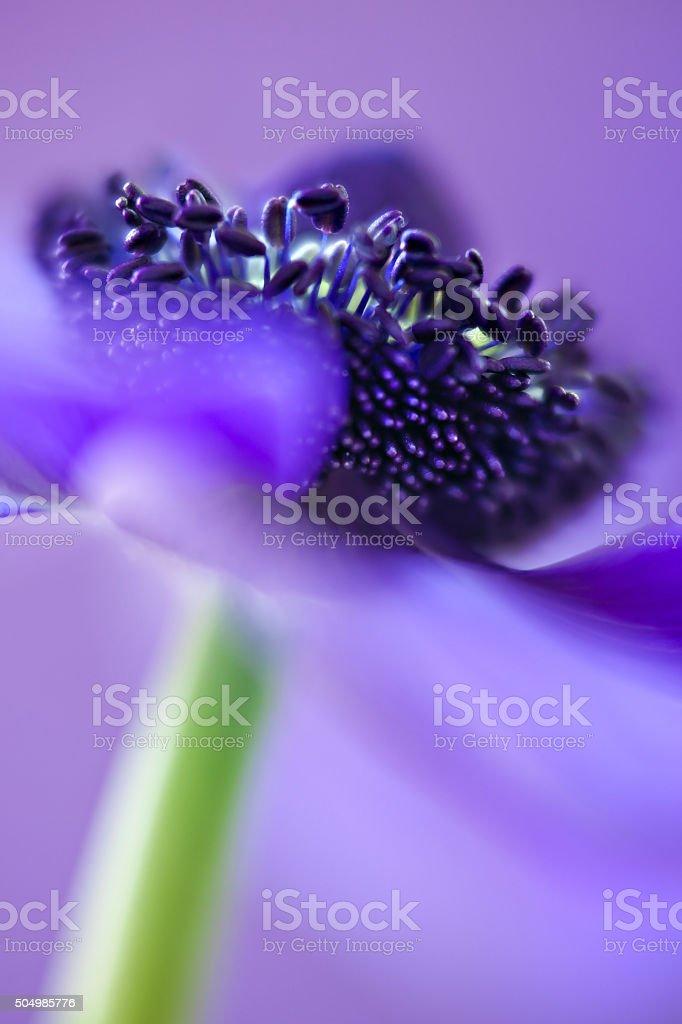 Anemone stock photo