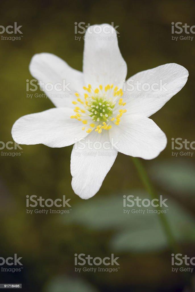 Anemone. royalty-free stock photo