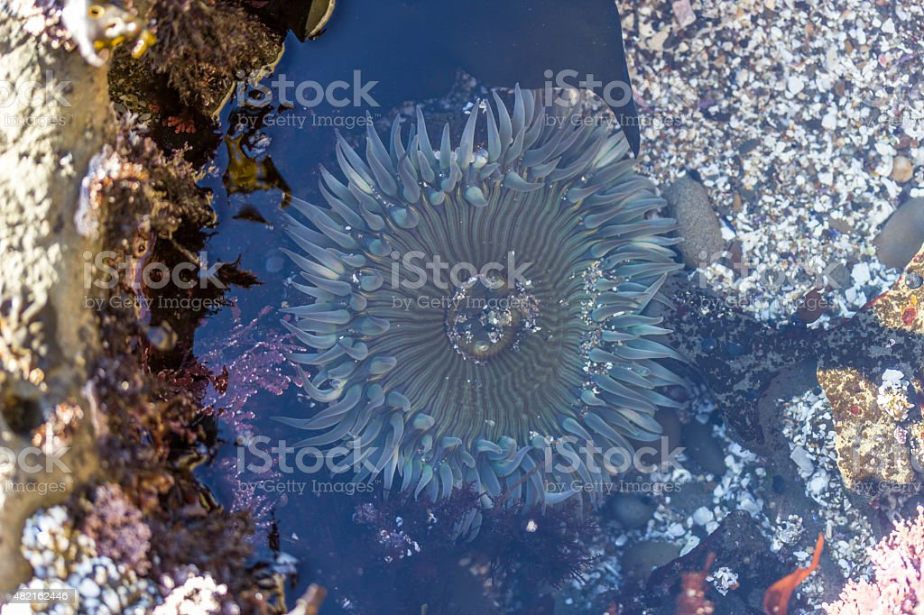 Anemone Seaside Pastels stock photo