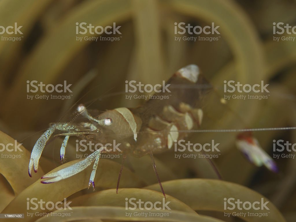Anemone Shrimp (Periclimenes magnificus) stock photo