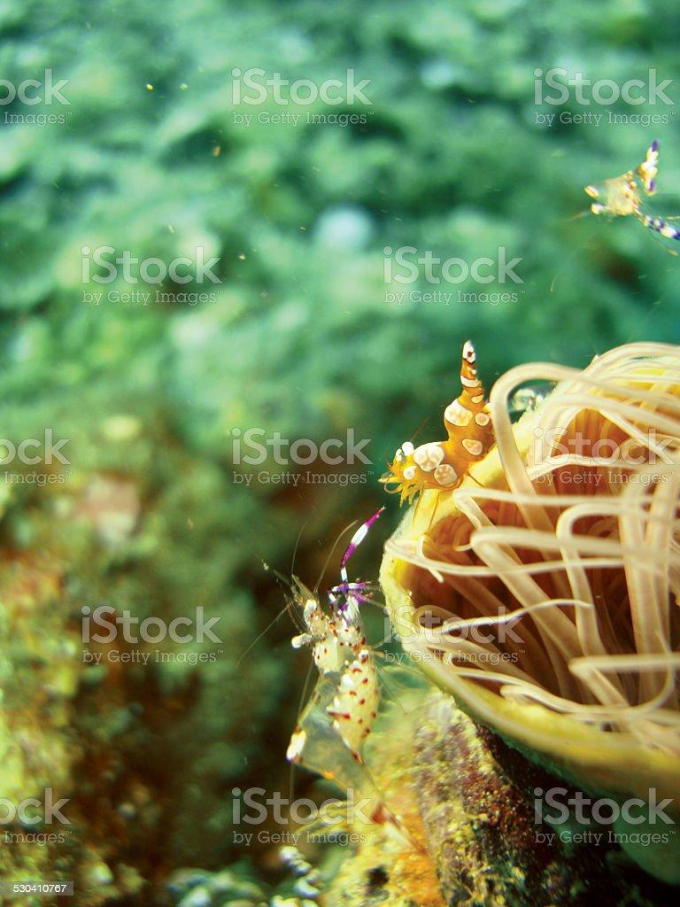 Crevette de Thor, crevettes photo libre de droits