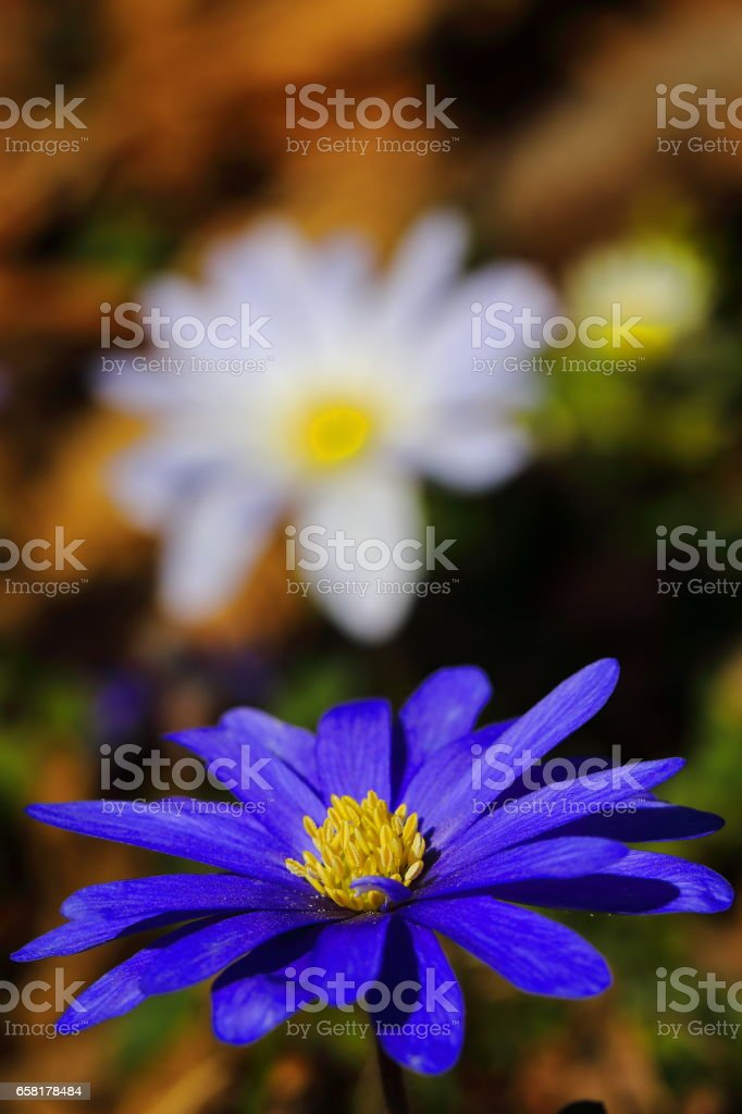 anemone spring flower - Blue Beauty in nature stock photo
