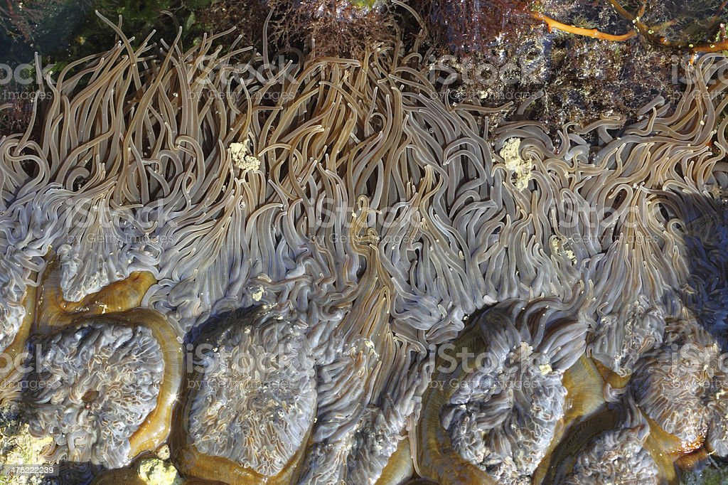 Anemone tentacles in low tide. royalty-free stock photo