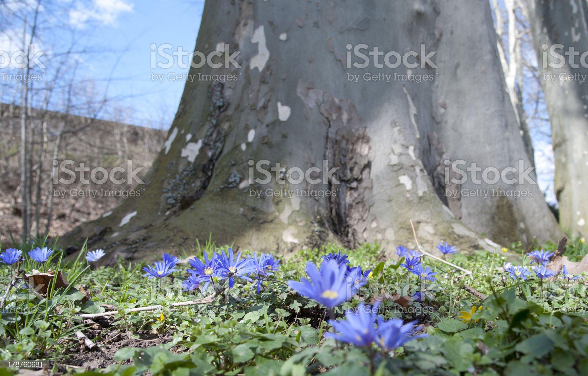 Anemone unter Platane royalty-free stock photo