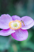 Anemone Vitifolia and hoverfly