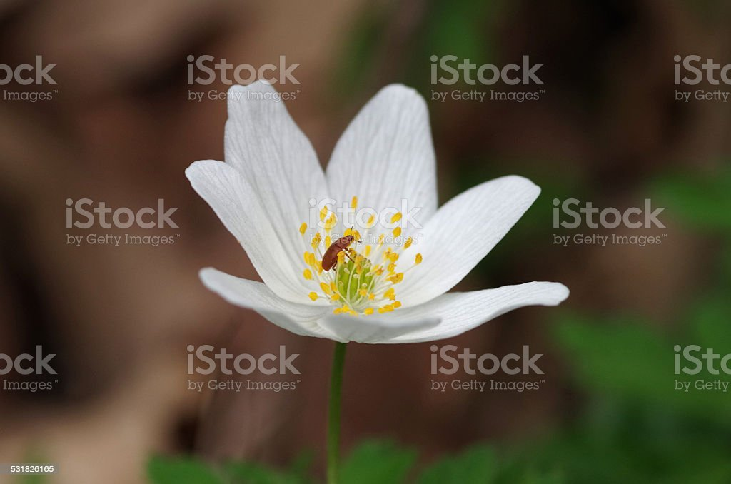 Anemone with beetle stock photo