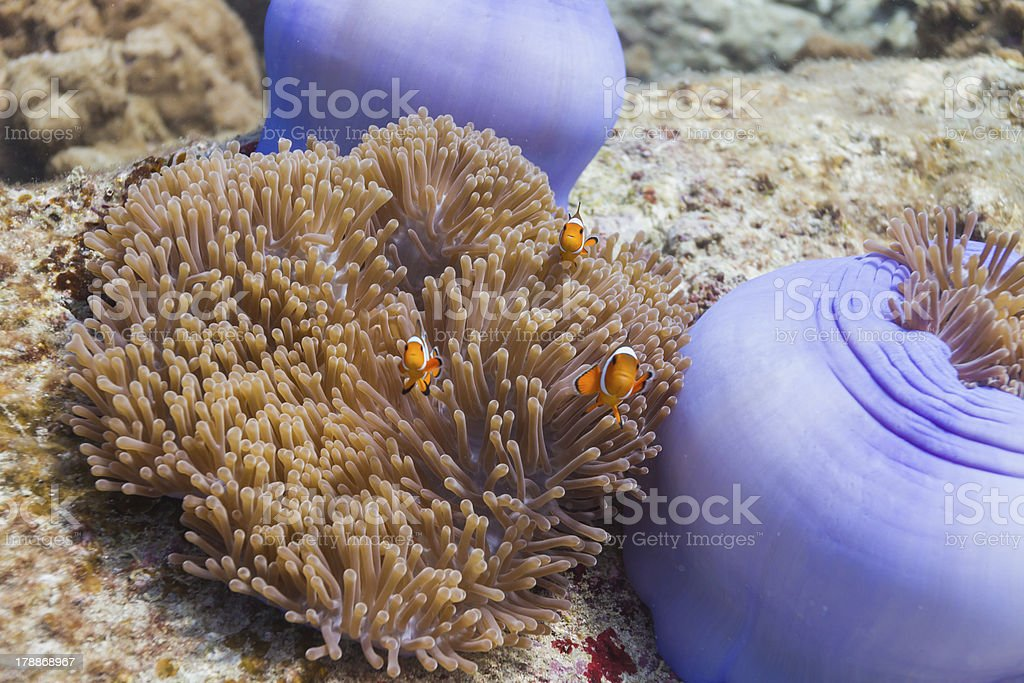 Anemonefish at Surin national park royalty-free stock photo
