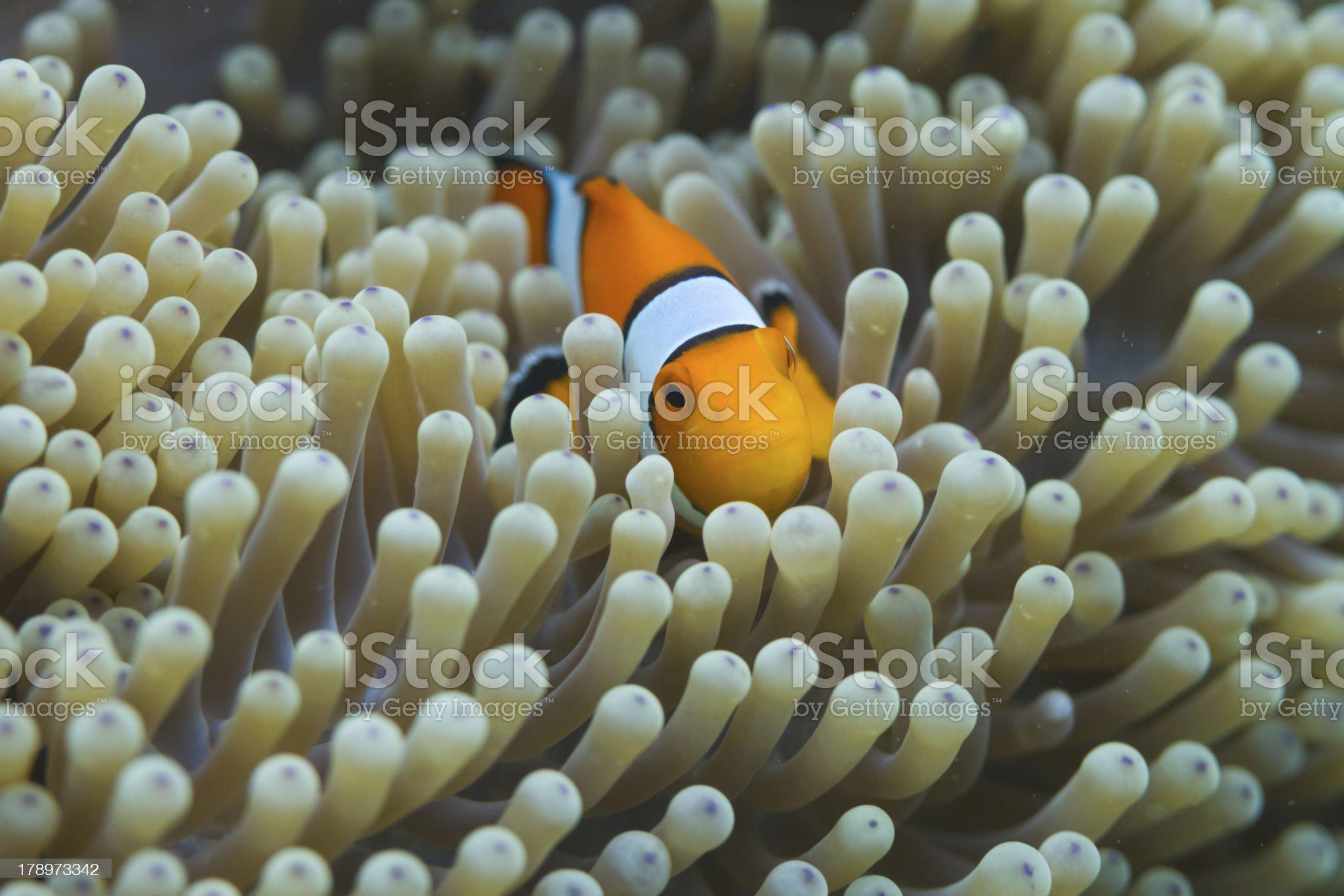 Anemonefish at Surin national park royalty-free stock photo