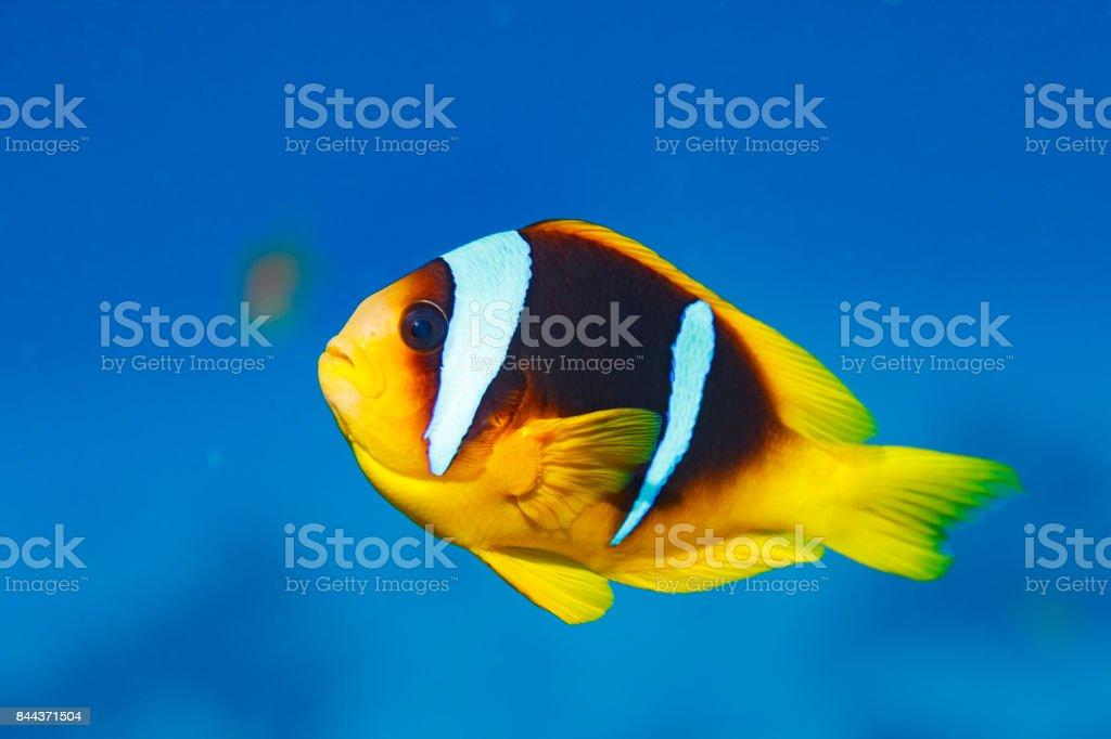 Anemonefish - clownfish Underwater Sea life  Scuba Diver Point of View stock photo