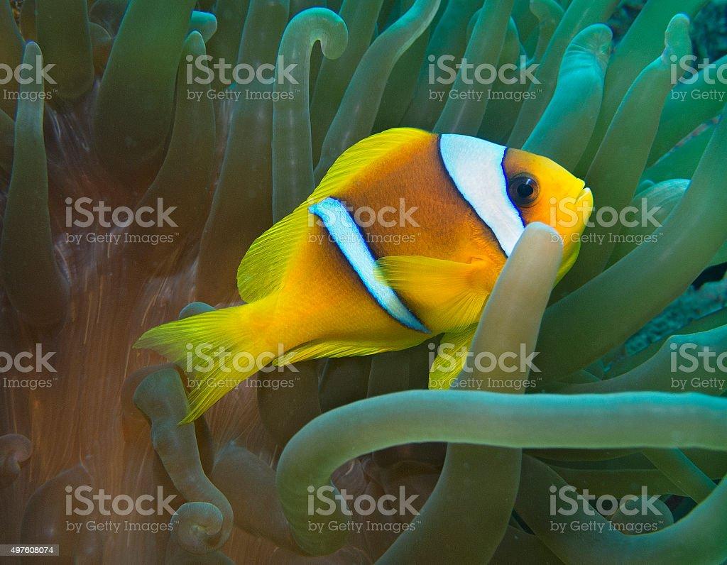 Anemonefish in Sea Anemone, Amphiprion bicinctus, Red Sea, Egypt stock photo