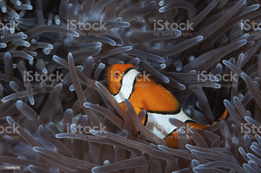 Anemonefish royalty-free stock photo