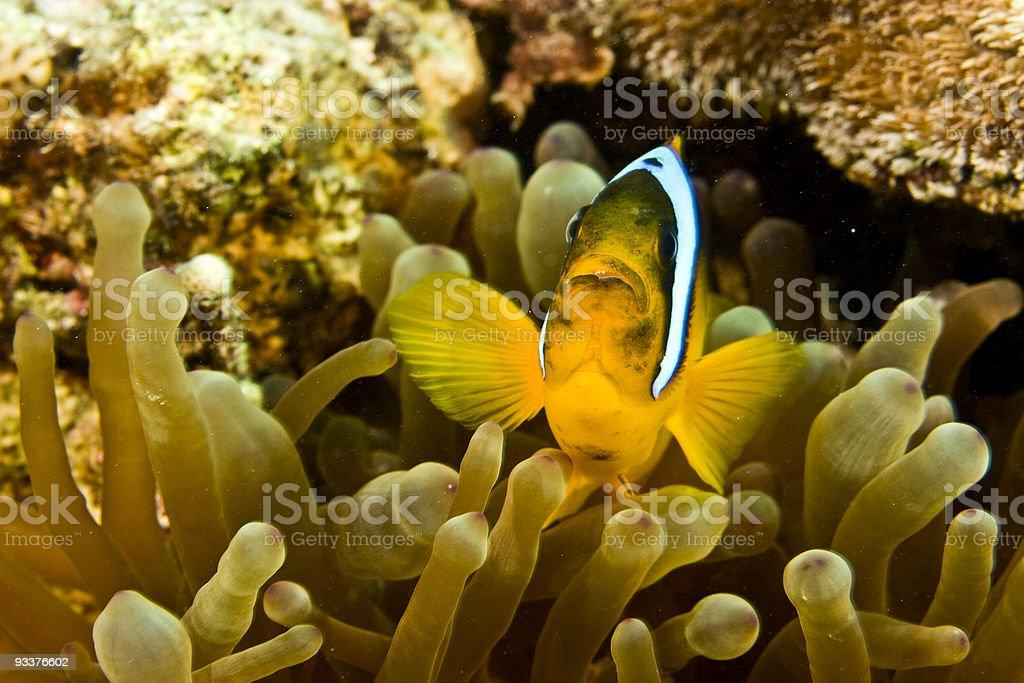 anemonefish royalty-free stock photo