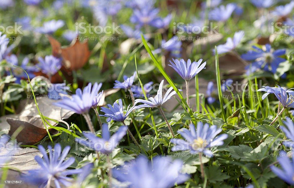 Anemonen und Herbstbl?tter royalty-free stock photo