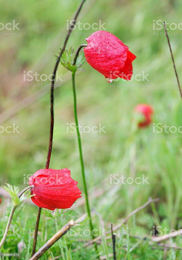 Anemones bloom stock photo