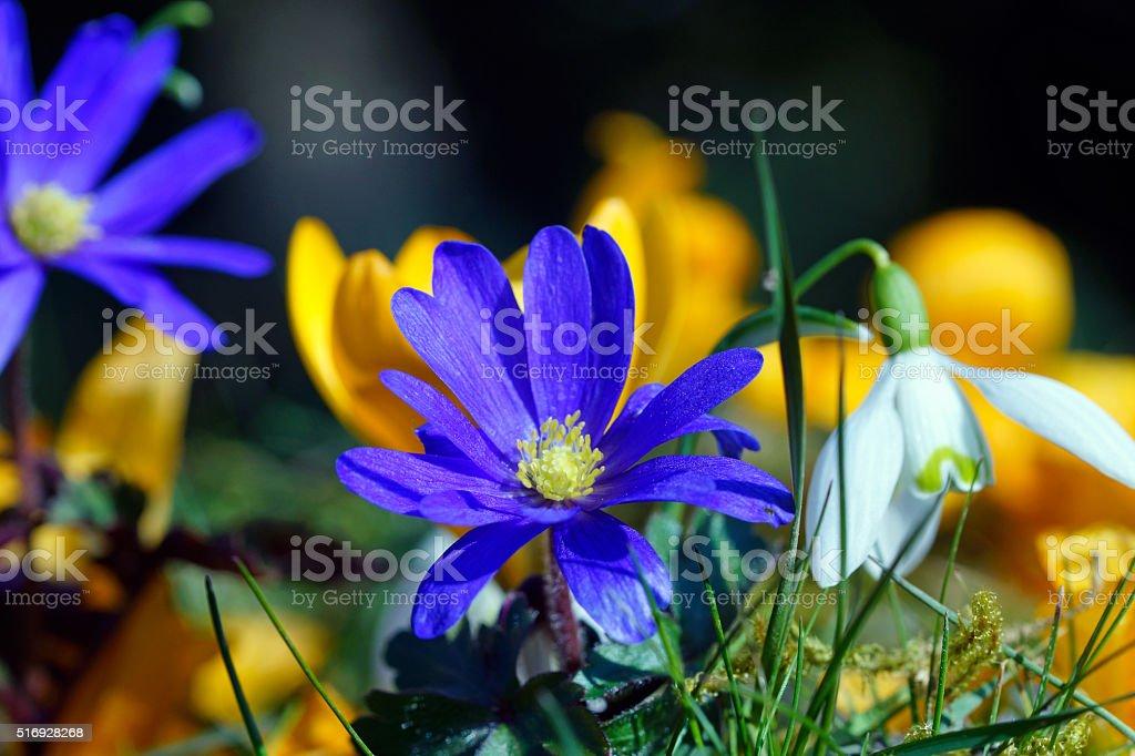 Anemones, crocuses and snowdrops stock photo