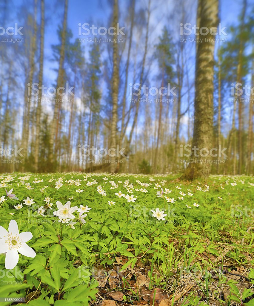 anemones flowers clearing in spring forest royalty-free stock photo