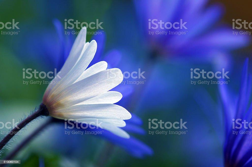 Anemones in spring stock photo
