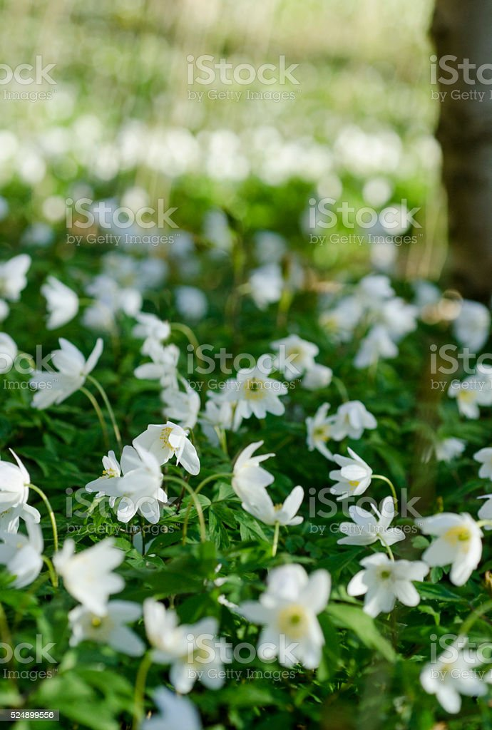 Anemones in springtime in the forest stock photo
