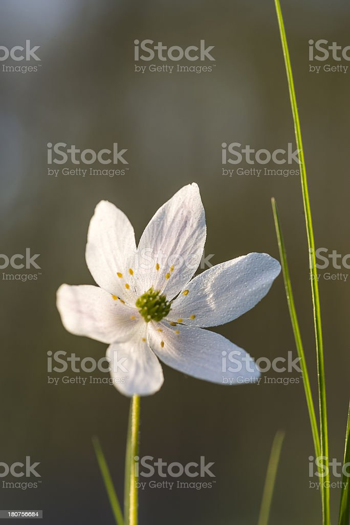 Anemones in the forest backlit (XXXLarge) royalty-free stock photo
