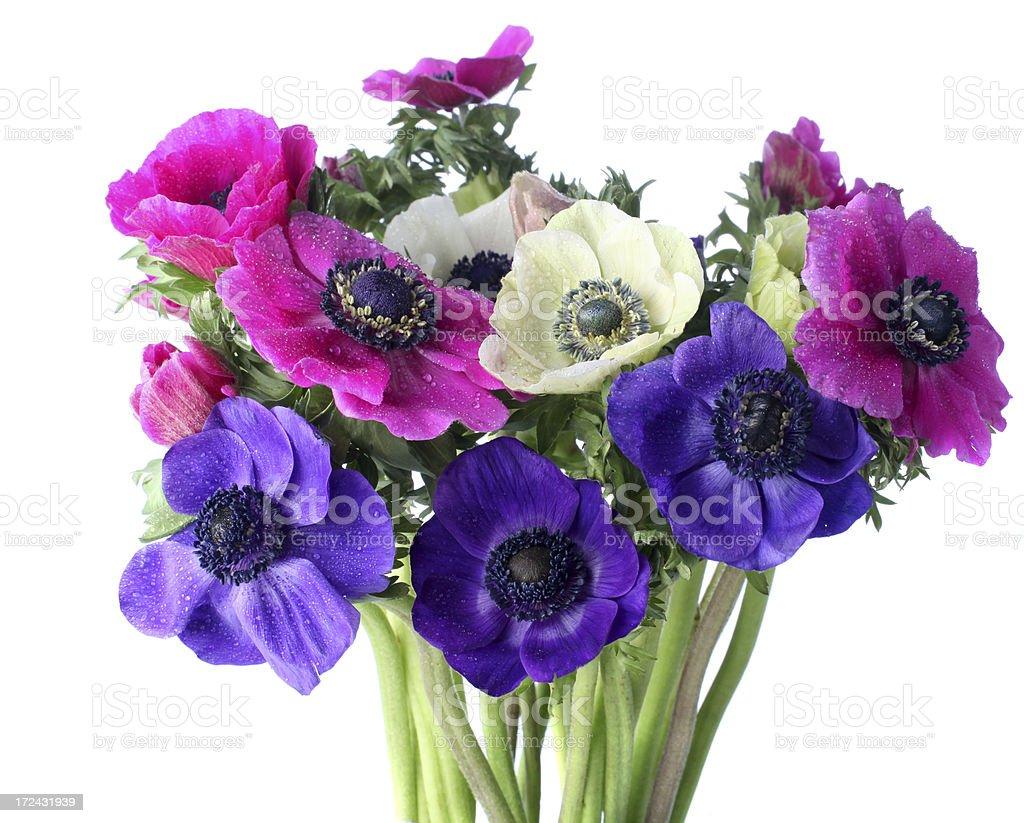 Anemones on white royalty-free stock photo