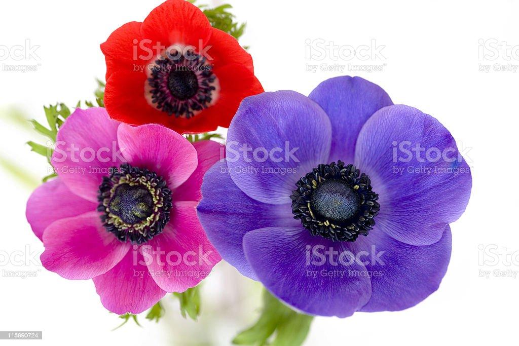 Anemones stock photo