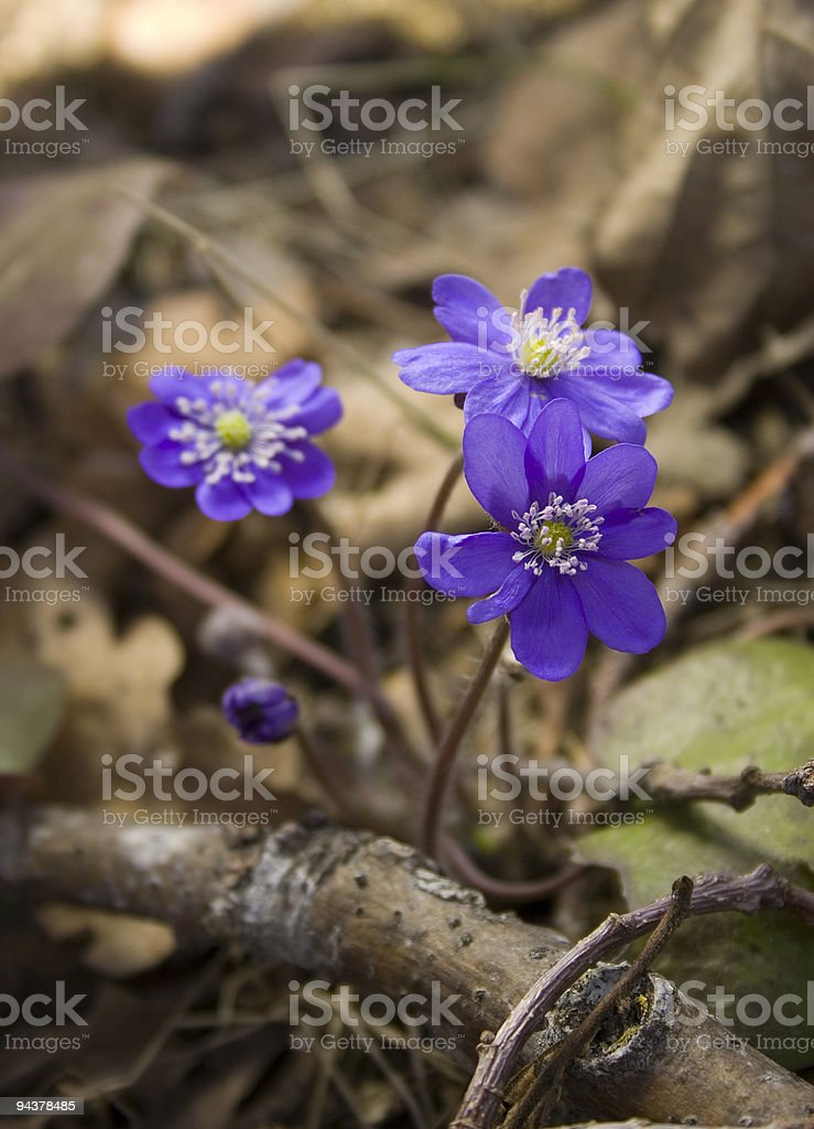 Anemones royalty-free stock photo