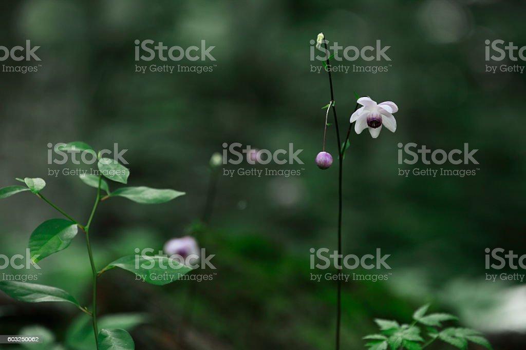 Anemonopsis macrophylla stock photo