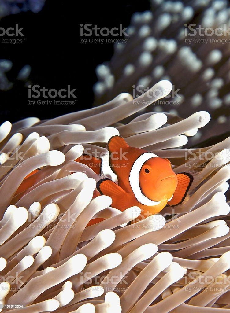Anenomefish stock photo