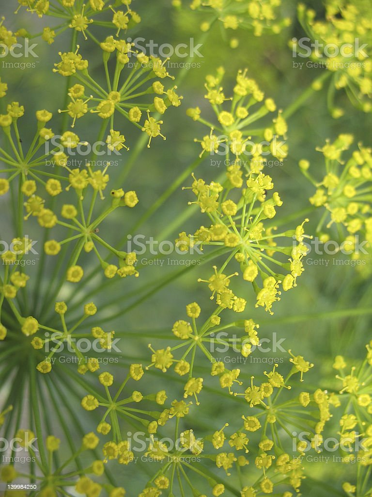 anethum garden royalty-free stock photo