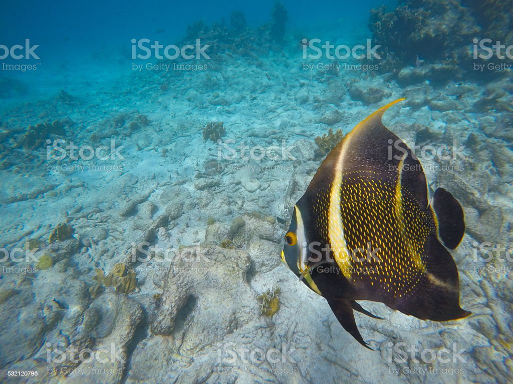 Angel fish in the caribean sea stock photo